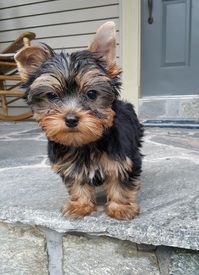 Two Angelic Teacup Yorkie Puppies In Need Of A New Family