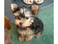 Two adorable 12 week old puppies Yorkie