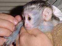 Well Trained Capuchin Monkeys for sale