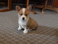 Welsh Corgi (pembroke) Puppies For you
