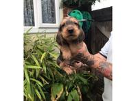 Wirehaired standard kc dachshund pups