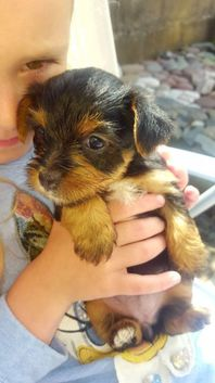 Yorkshire Terrier Puppies / Now Ready