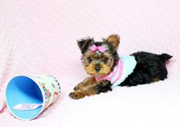aFFECTIONATE  KC REG.YORKIE PUPPIES NEED A NEW FAMILY