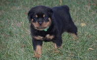 beautiful, KC Rottweiler Puppies For Sale