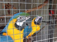 blue and gold macaw parrots for free adoption.