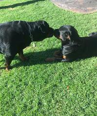 champion line rottweiler puppies pure bred- 3 girls 1 boy left - london