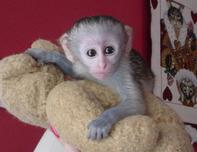 cute lovely capuchin monkeys ready for a free home adoption