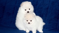 cute pomeranian pups ready
