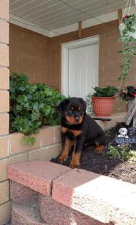 kc registered German Rottweiler puppy