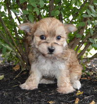 morkie male puppy ready to go today. tan/golden color--very unique!