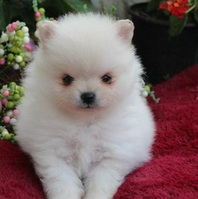 pomeranian puppies both male and female are now ready for their new home