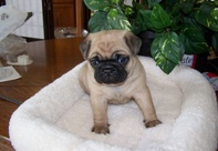 pug puppies for new home