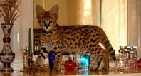 savannah F1 & F2 kittens