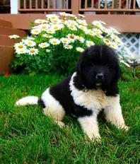 wonderful Newfoundland pups