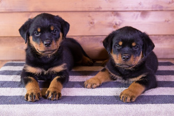top Quality Rottweiler Pups Champion Bloodline Animals