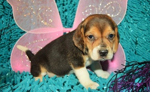 uper beautiful tri color pocket beagle puppy with champion bloodlines! Animals