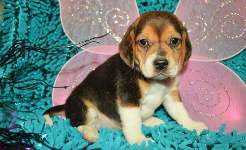 uper beautiful tri color pocket beagle puppy with champion bloodlines! Animals 2